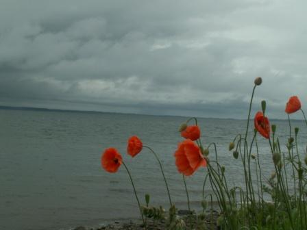 black-isle-poppies.jpg