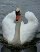 Graceful Swan