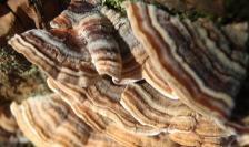 Lomonside Fungi