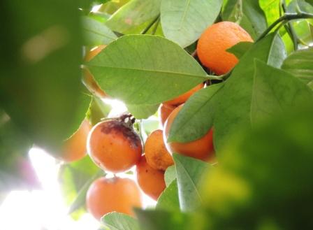 Glasgow Oranges