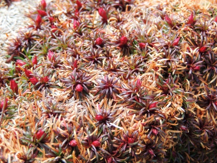 Cushion of Red Stars