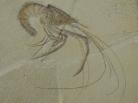 fossil shrimp