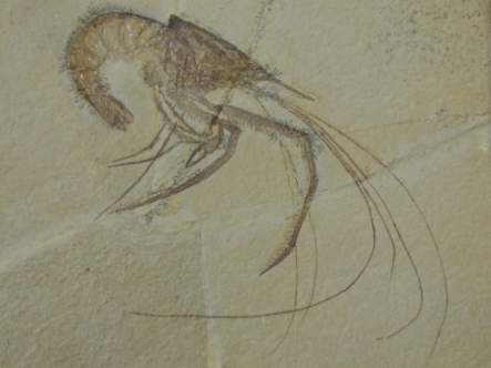 fossil shrimp