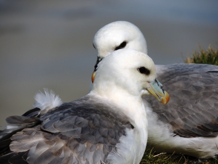 Fulmar Lovebirds