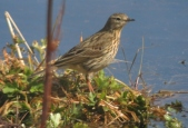 Meadow Pippet