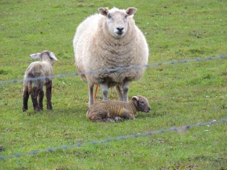 newly born lambs