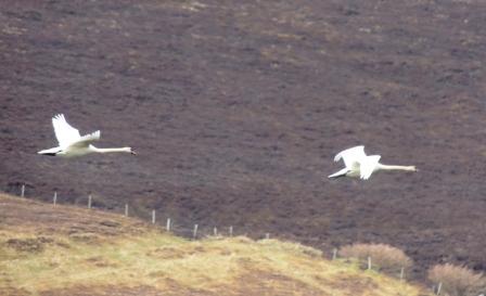 Swans in Flight