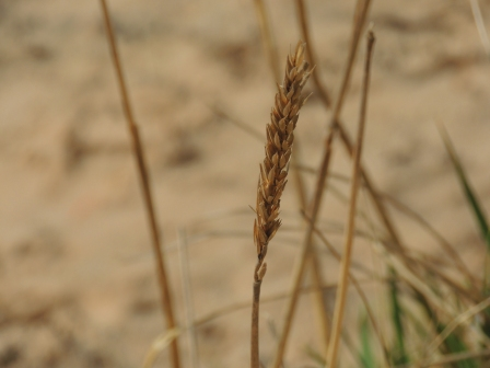 Wheat on Scapa Beach