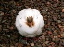 Chicken Ball