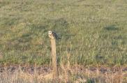Shorteared Owl