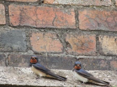 swallows 3